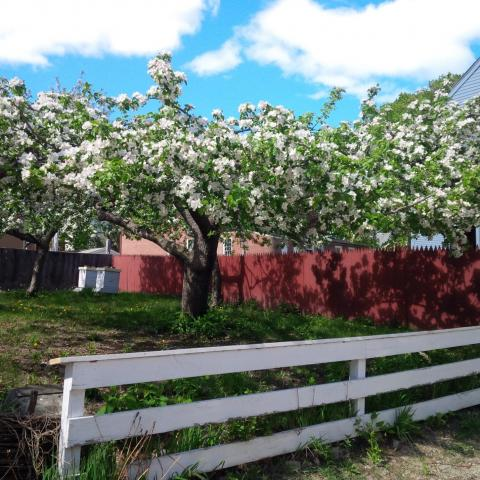 Strawbery Banke heirloom apple orchard and bee hives.